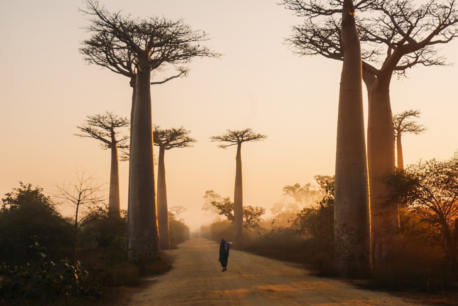 Beautiful alley of baobabs during sunrise in Morondava, Madagascar.